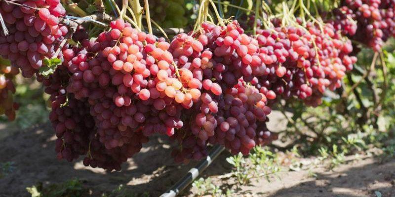 vinograd veles kak sobrat 7 kg s odnogo kusta