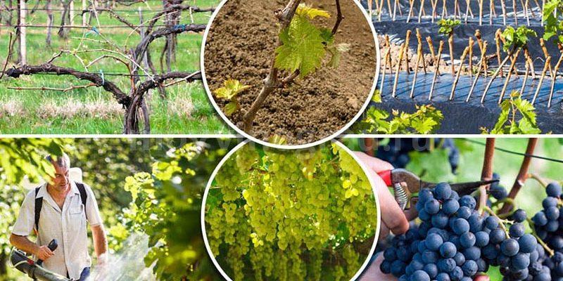 vinograd vysokij urozhaj zavisit ot pravilnogo i svoevremennogo uhoda