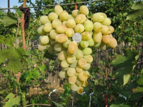 vinogradnyj sort aleksa harakteristika i osobennosti