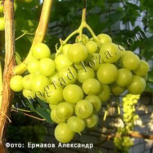 vinogradnyj sort prima opisanie