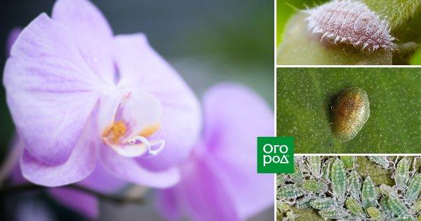 vrediteli orhidej sposoby borby s parazitami