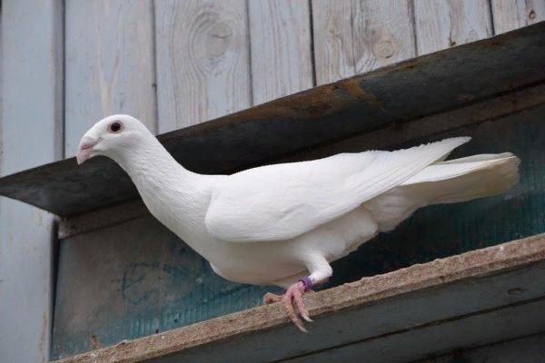 vse o pochtovyh golubyah
