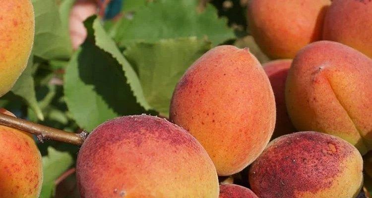 vybor podmoskovya luchshie sorta abrikosa