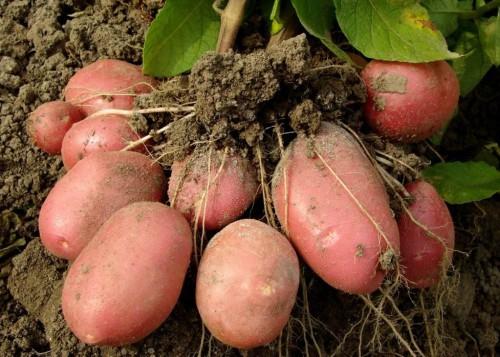 vyrashhivanie kartofelya samye urozhajnye sorta i tehnologii vysazhivaniya