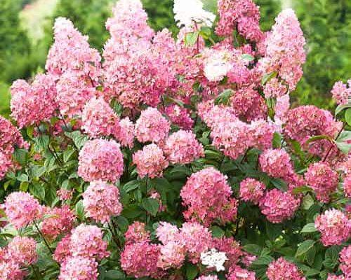 vyrashhivanie metelchatoj gortenzii pink dajmond