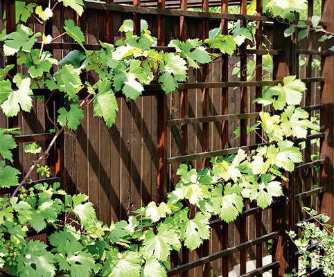 vyrashhivanie vinograda na dache sovety novichkam