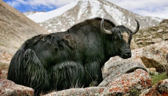yak vysokogornyj byk