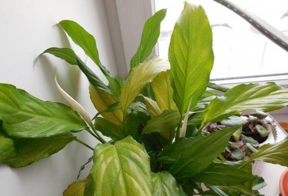 zheltejut listya u spatifilluma prichiny nedomoganiya rasteniya