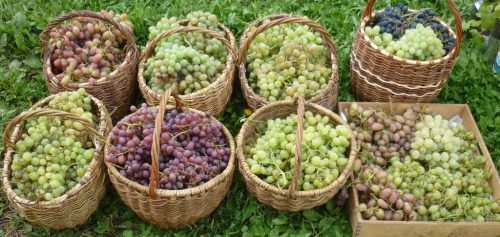 znachenie parametra urozhajnosti vinograda s kusta