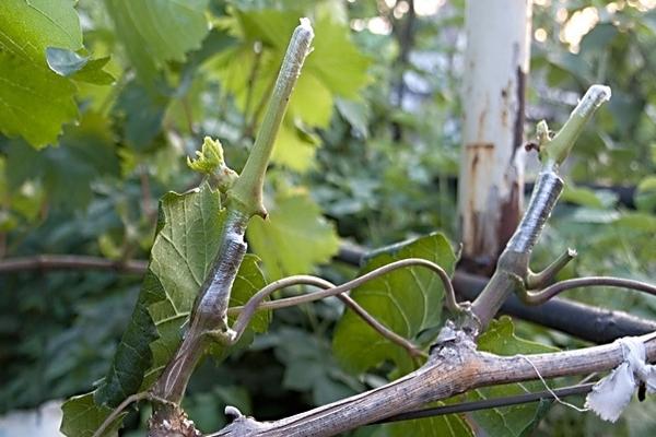 znachenie zelenoj privivki vinograda